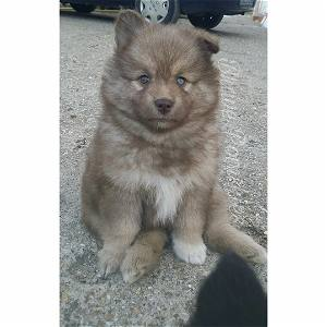 Alaska the Pomsky