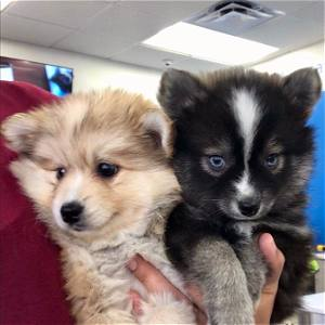 Aspen & Dakota, the Pomskies